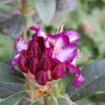 Rododendron Hans Hachmann