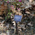 Rododendron Haruko