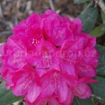 Rododendron Hassan
