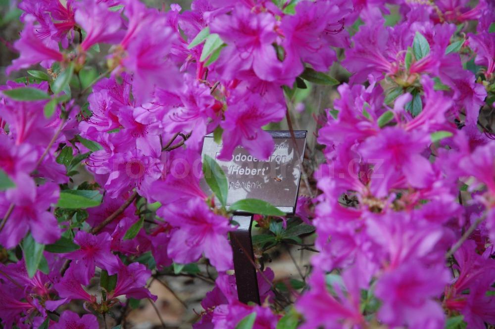 Rododendron Hebert