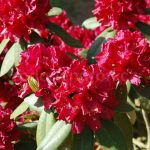 Rododendron Henrys Red
