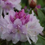 Rododendron Herkules