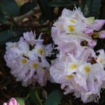 Rododendron Herme