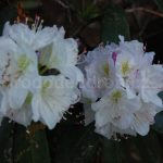 Rododendron Hero