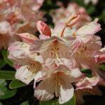 Rododendron Herzas