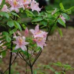 Rododendron Heureuse Surprise