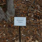 Rododendron Hildegard