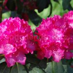 Rododendron Holbein