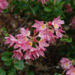 Rododendron Honneur De Flandre