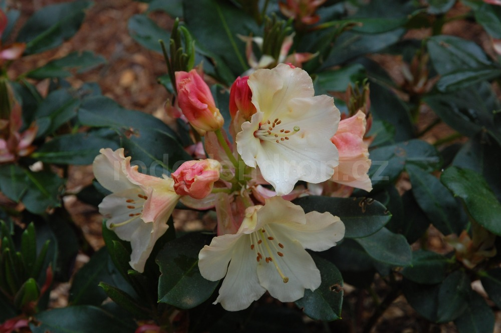 Rododendron Horizon Monarch