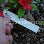 Rododendron Hot Shot Obustum
