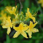 Rododendron Hugh Wormald