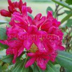Rododendron Humoreska