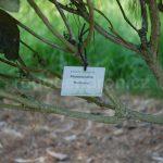 Rododendron Hurricane