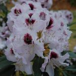 Rododendron Hyperion