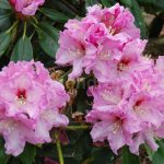 Rododendron Ideal