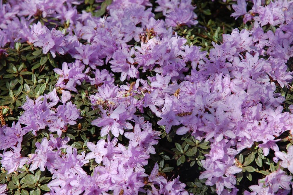 Rododendron Impeditium