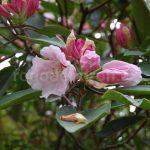Rododendron Inamorata