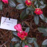 Rododendron Inez