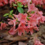 Rododendron Iochmium