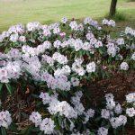 Rododendron Irela