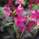 Rododendron Jeršov