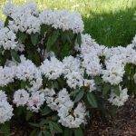 Rododendron Jewess