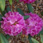 Rododendron Křivoklát
