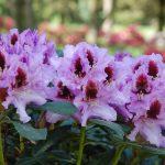 Rododendron Kabarett