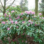 Rododendron Kardessa
