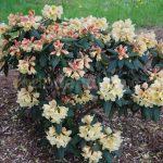 Rododendron Karibia