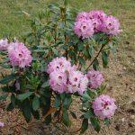 Rododendron Karlštejn