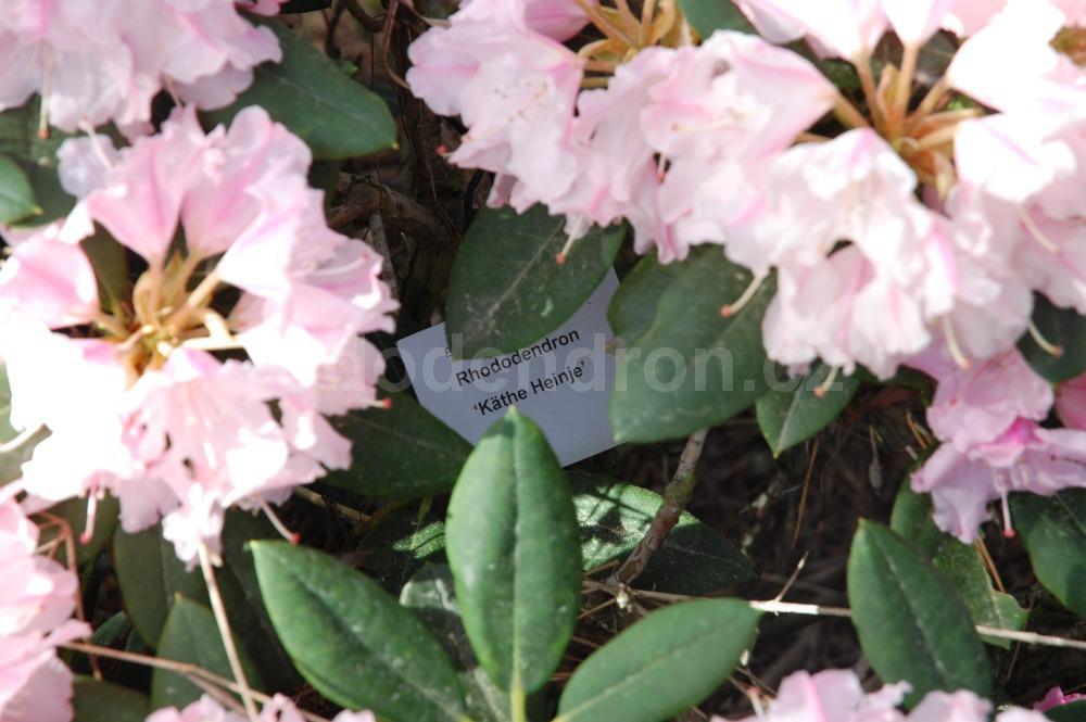 Rododendron Kathe Heinje