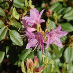 Rododendron Keiskei