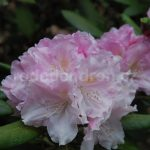 Rododendron Ken Janeck