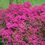 Rododendron Kermesina
