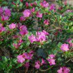 Rododendron Kiusianum