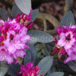 Rododendron Kokardia