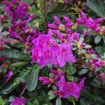 Rododendron Konigstein