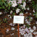 Rododendron Košilatá