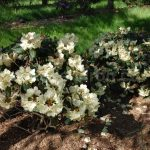 Rododendron Kriemhild