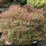 Rododendron Labe