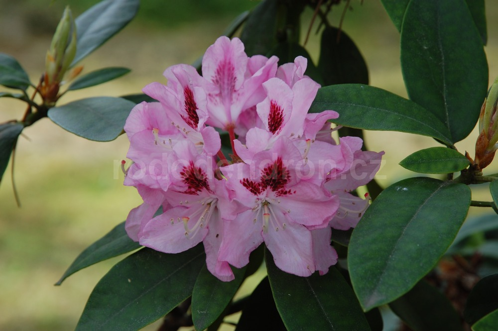 Rododendron Lady Anette