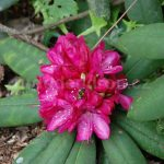 Rododendron Lady Clermont