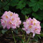 Rododendron Lady Decies