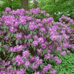 Rododendron Lajka