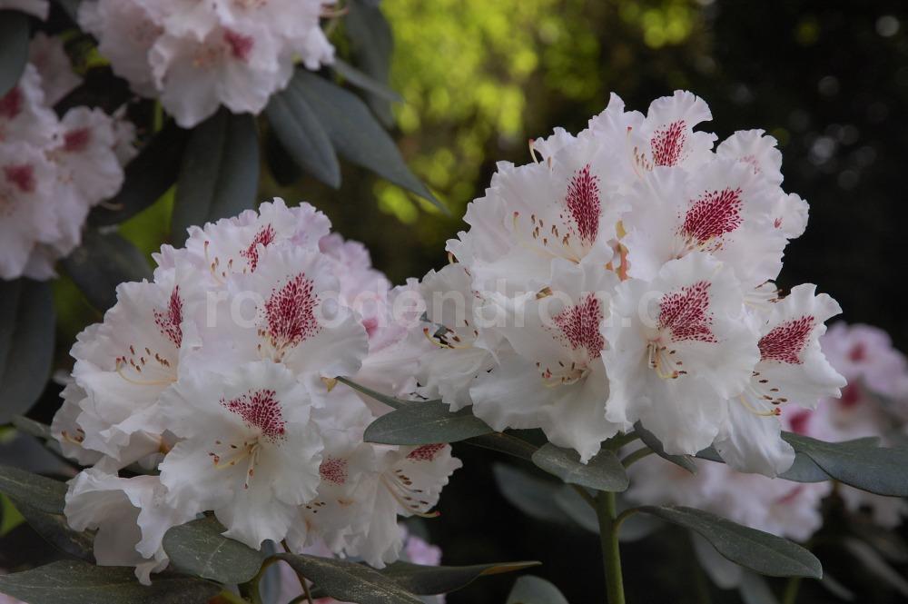 Rododendron Lamentosa