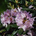 Rododendron Lavendelzauber