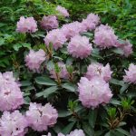 Rododendron Lavender Girl