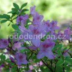 Rododendron Ledikanense